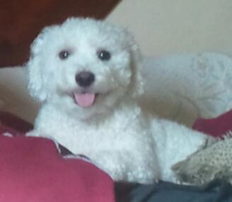 coton de tulear breeders in india, coton de tulear dog puppies for sale in india