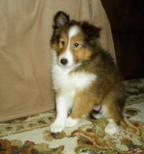 shetland sheepdog puppies for sale, shetland sheepdog breeder in india , shetland sheepdog kennel in india