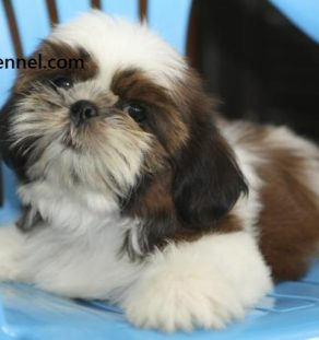 havanese for sale in india, havanese breeder in india , havanese price in delhi , havanese price in india,