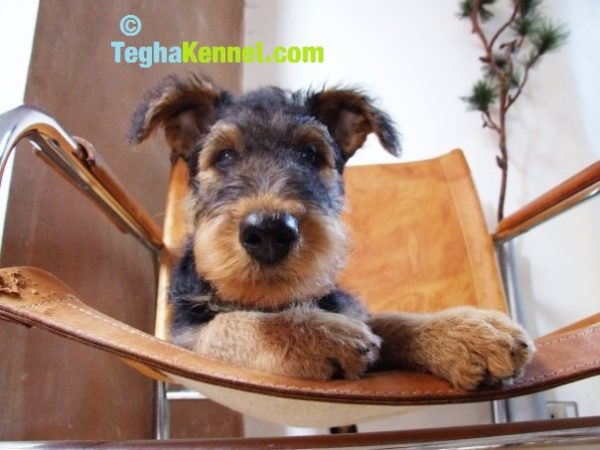 Airedale Terrier puppies for sale in india