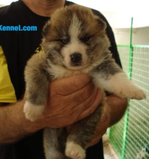 Japanese akita dog pupy for sale in india