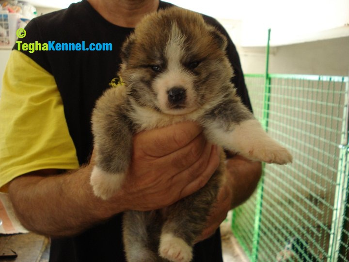 Japanese Akita Puppy For Sale Puppies For Sale Dogs For Sale Dog