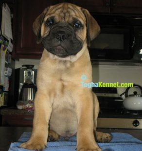 bull mastiff for sale in india