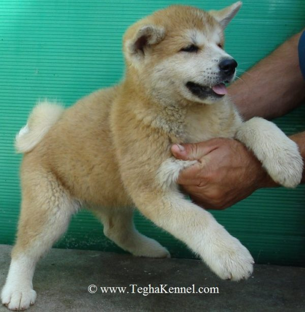 American Akita Puppies for sale in india