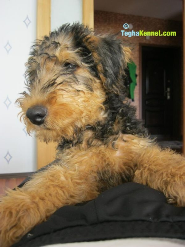 airedale terrier dogs for sale in india