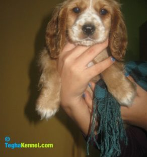 English Cocker Spaniel puppies for sale in india
