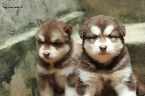 Alaskan Malamute Puppies for Sale in india