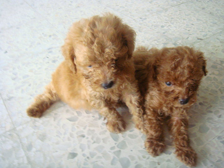 American Barbet Puppy For Sale Puppies For Sale Dogs For Sale