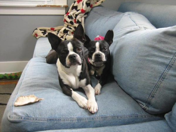 Boston Terrier puppies for sale in india