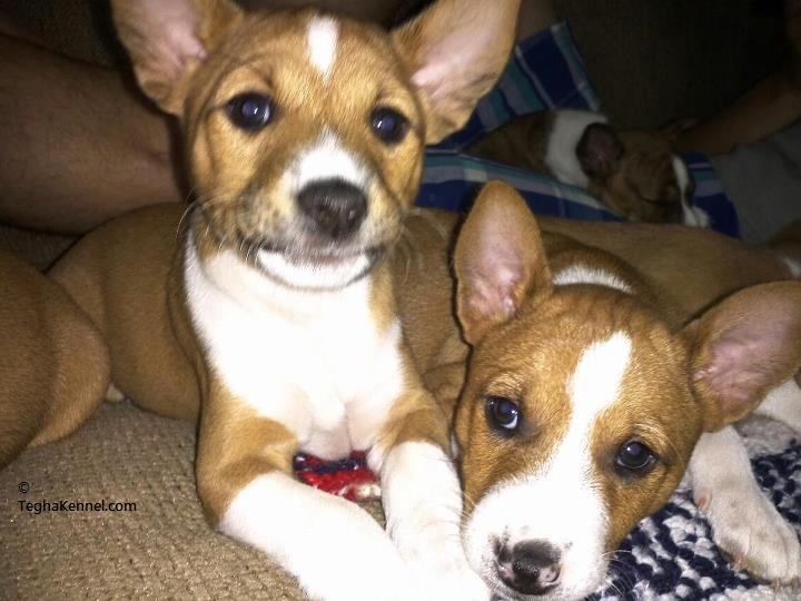Basenji Puppies For