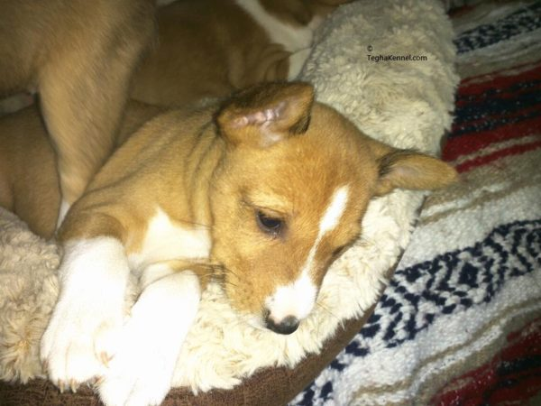 basenji dog puppies for sale in india