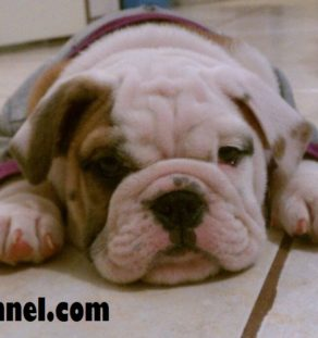 American Bulldog puppies for sale in india