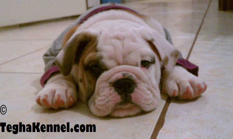 American Bulldog Puppy For Sale Puppies For Sale Dogs For Sale