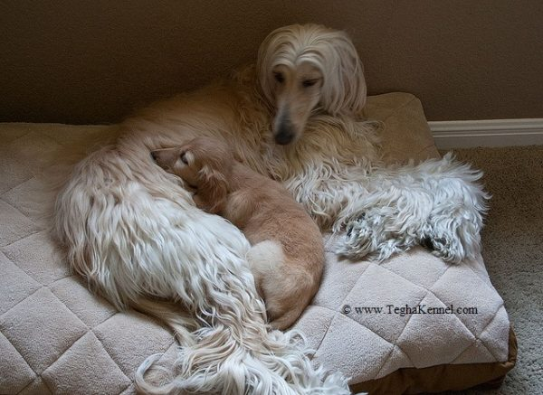 afghan hound dog for sale in india