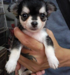 Chihuahua puppy for sale in india
