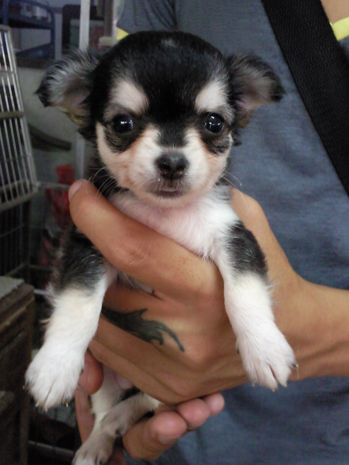 chihuahua dog breeder long hair chihuahua puppy for sale puppies for sale 8995