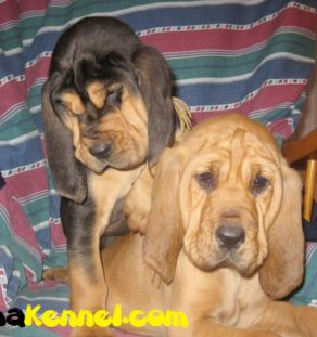 TEGHA-Bloodhound puppies for sale india