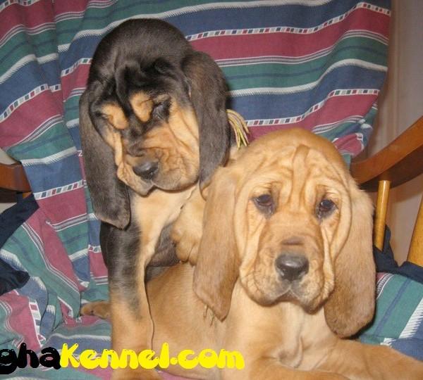 Blood Hound puppy for sale
