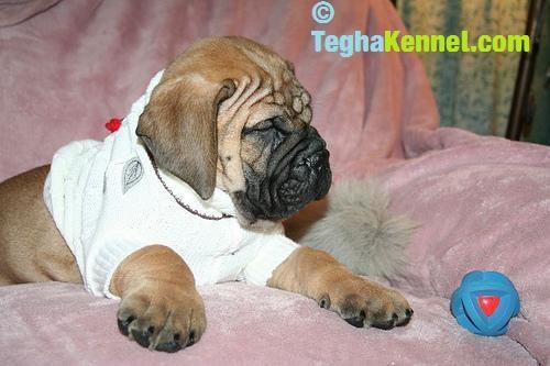 bull mastiff for sale in india