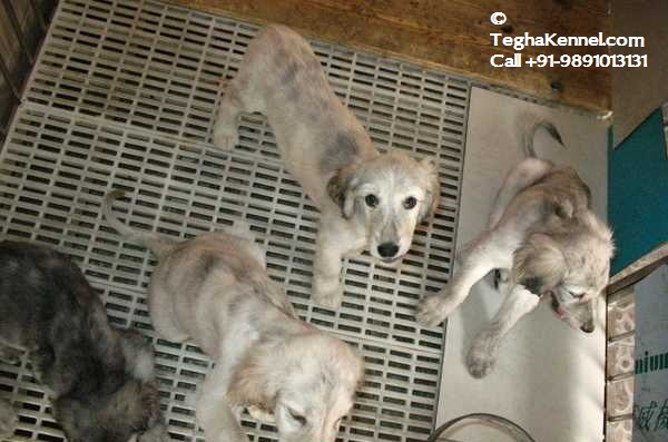 Afghan Hound Puppy for sale