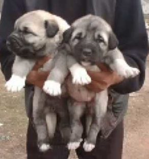 kurdish kangal india