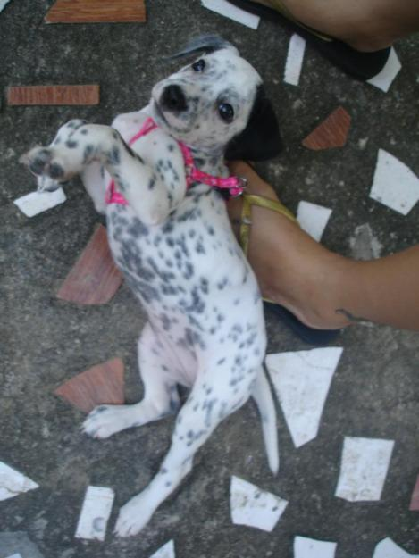Dalmatian Puppies For Sale Puppies For Sale Dogs For Sale Dog