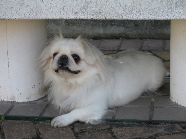 white pekingese puppies for sale  u2013 puppies for sale  dogs