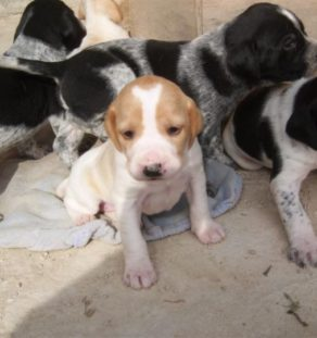 pointer for sale in india at teghakennel.com
