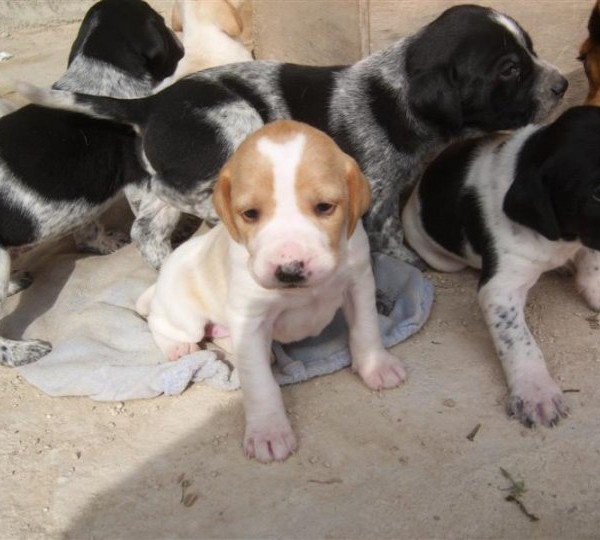 English Pointer Puppies For Sale Puppies For Sale Dogs For Sale