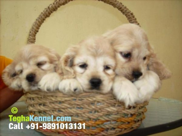 american cocker spaniel puppies india