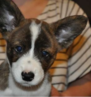 Cardigan welsh corgi india