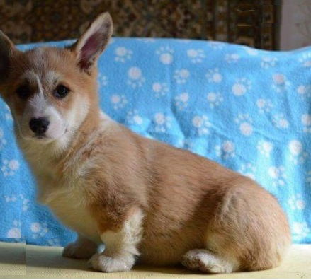 pembroke welsh corgi puppies india