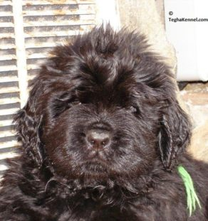 newfoundland dog kennel india