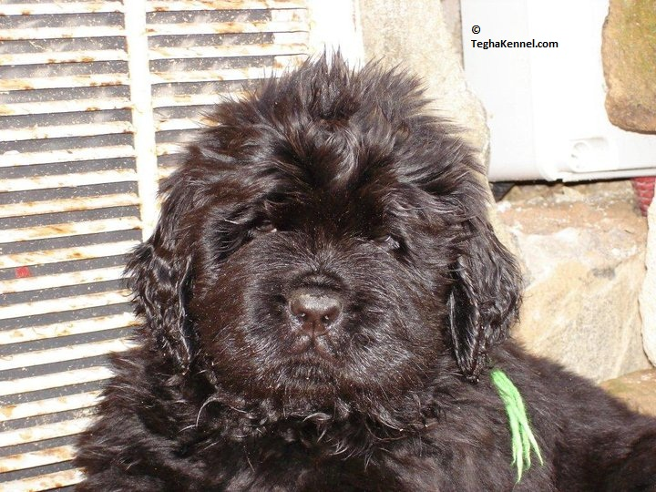 Newfoundland Puppies For