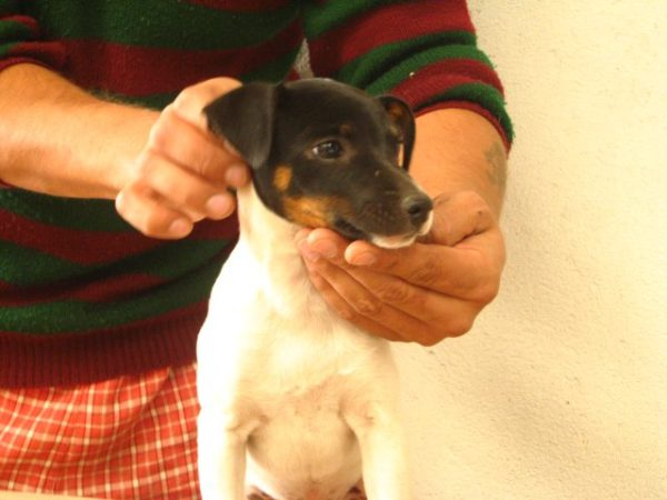 fox terrier puppy for sale