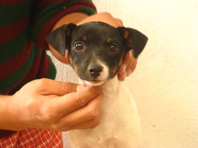 Fox Terrier Puppy For Sale Puppies For Sale Dogs For Sale Dog