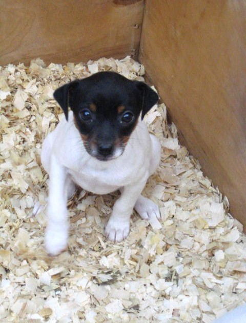 Fox Terrier Puppies For Sale Puppies For Sale Dogs For Sale Dog