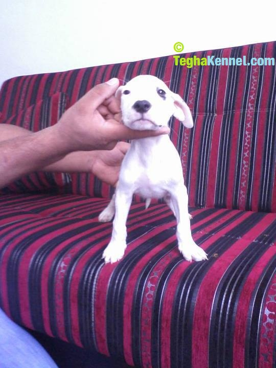 dogo argentino kennel in india