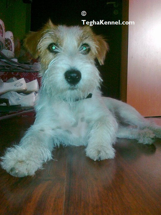 wire haired jack russell terrier india