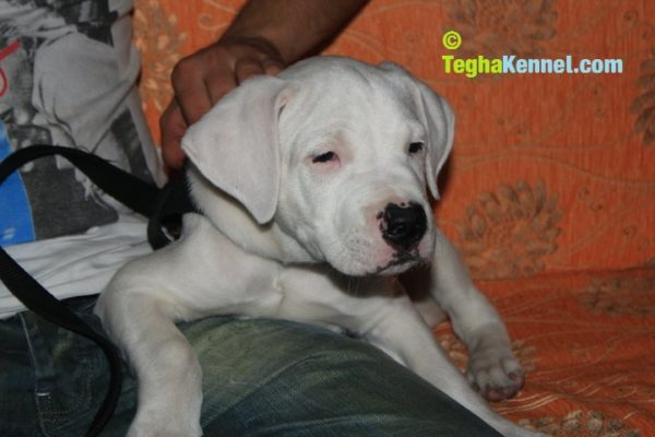 dogo argentino breeders in india