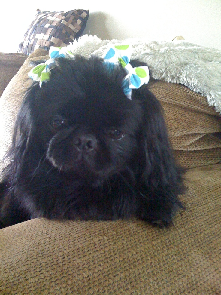 Pekingese Puppies For Sale Puppies For Sale Dogs For