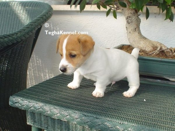 jack russell terrier india