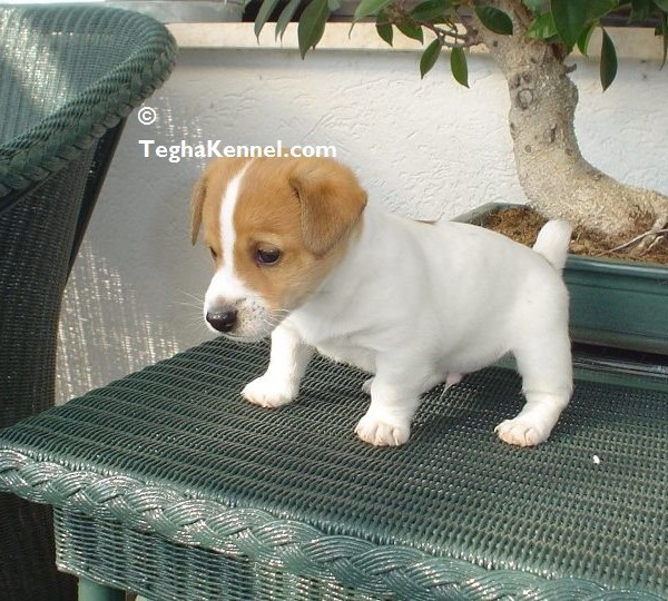 Small Sized Dog Breeds Available In India