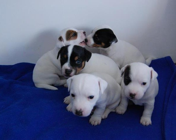Smooth Fox Terrier Puppies For Sale Puppies For Sale Dogs For