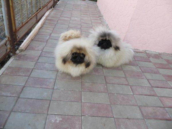 Golden Pekingese puppies india