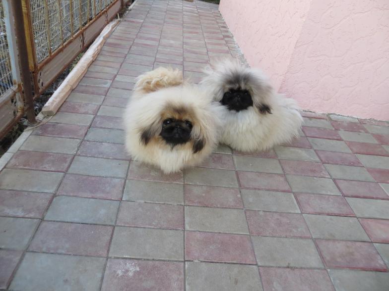 Pekingese Puppies For
