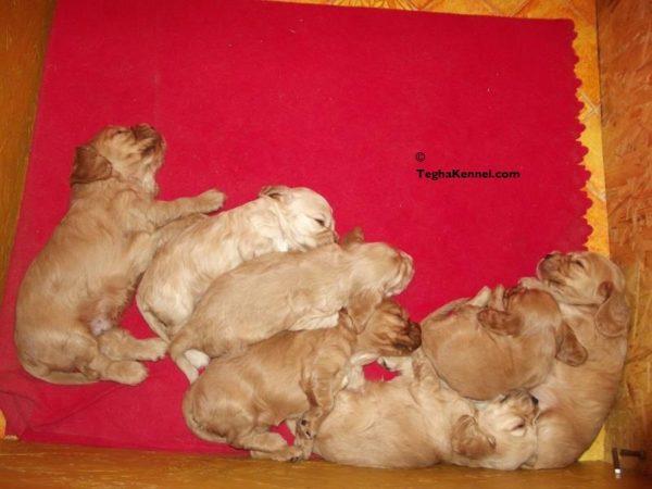 american cocker spaniel puppies india