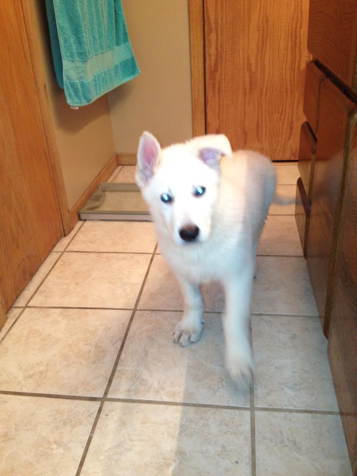White German Shepherd Puppy for sale