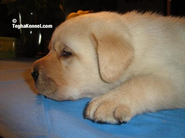 Labrador Retriever Puppies for sale india