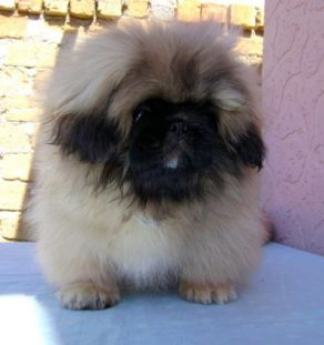 Golden Pekingese puppies india